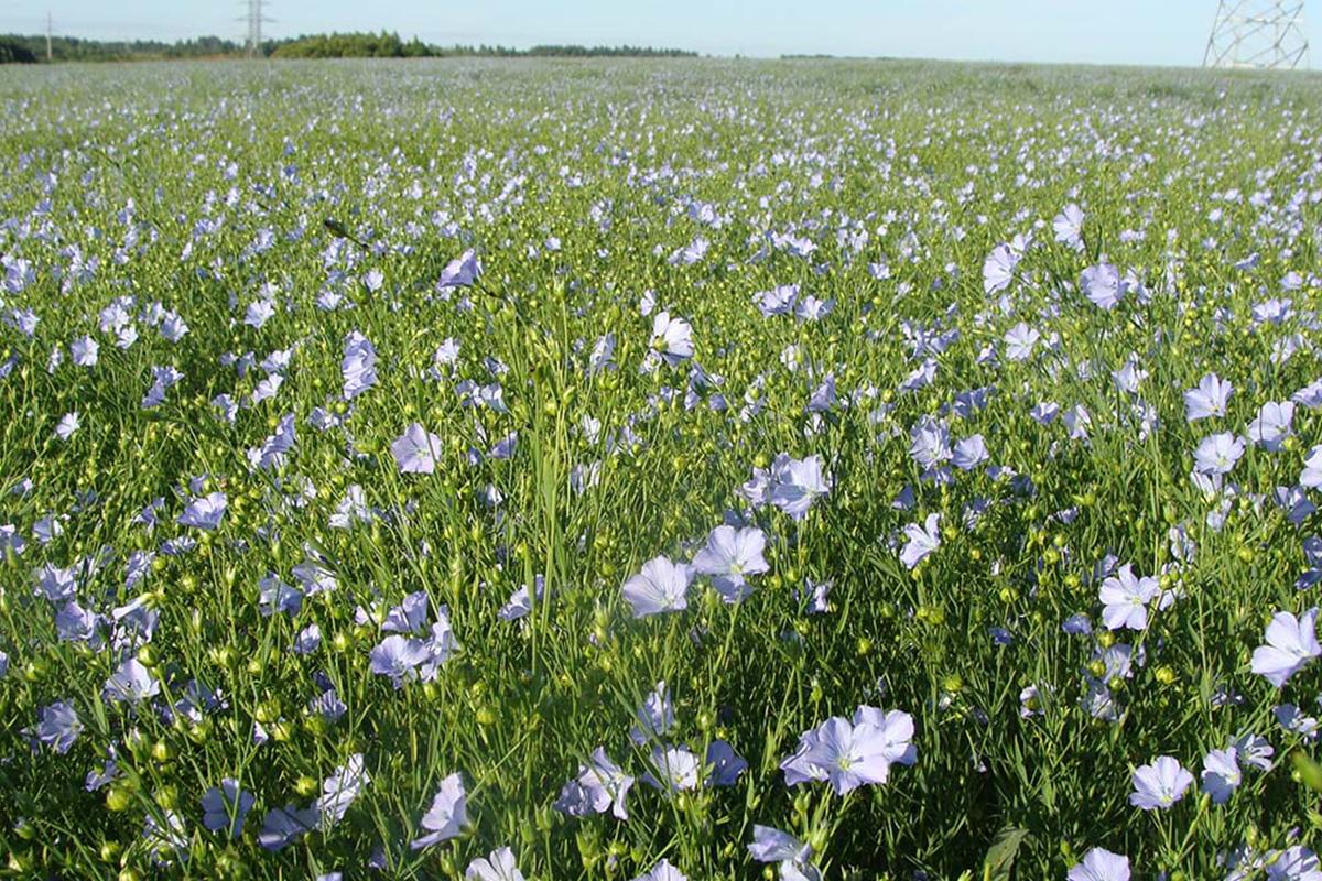 Ученые СПбПУ помогут защитить сельскохозяйственные культуры от вредоносных грибов